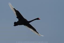 Zwarte zwanen vliegen in